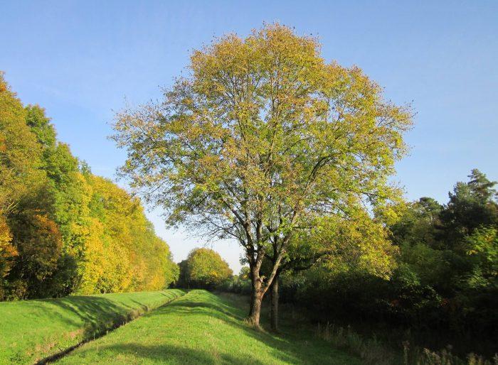 Ясен – дървото Ясен