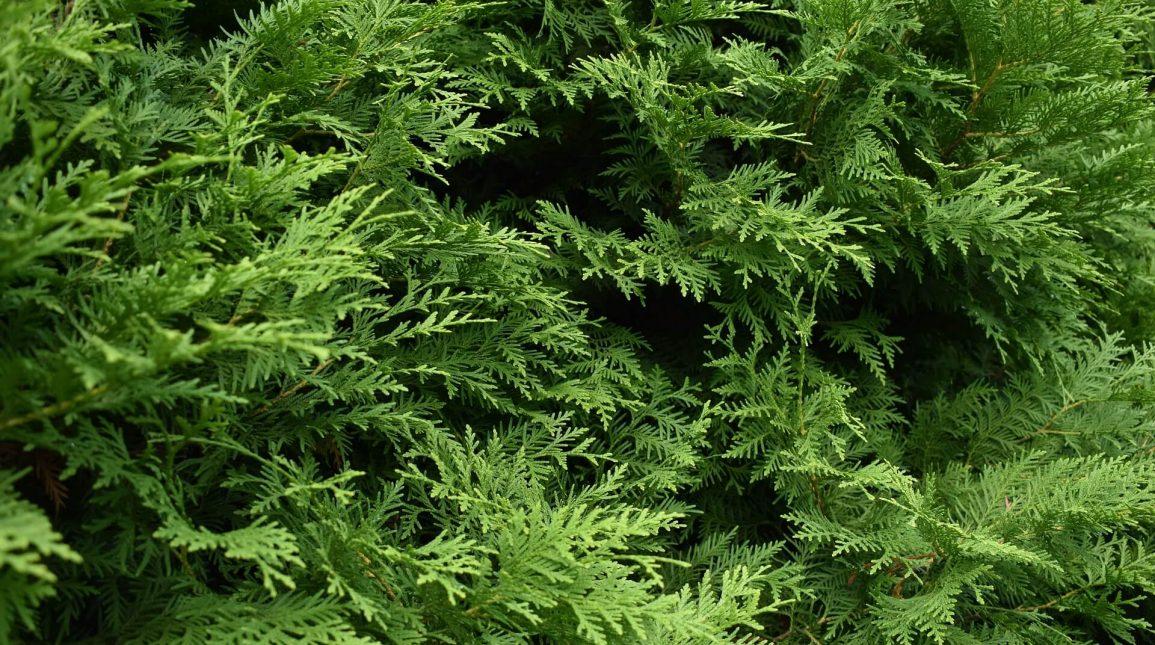 Декоративни дървета – Видове и отглеждане