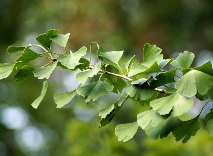 Гинко Билоба дърво