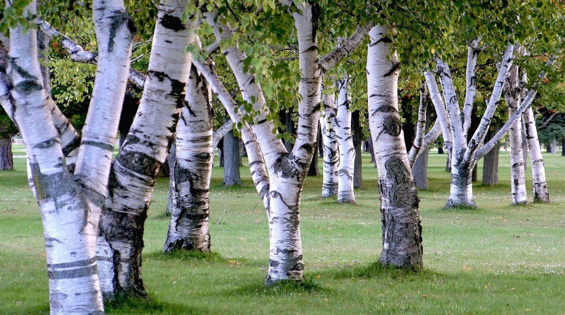 Големи дървета цена