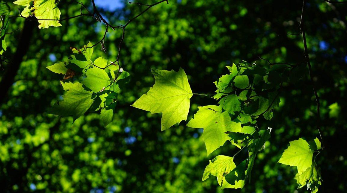 Кълбовидни дървета