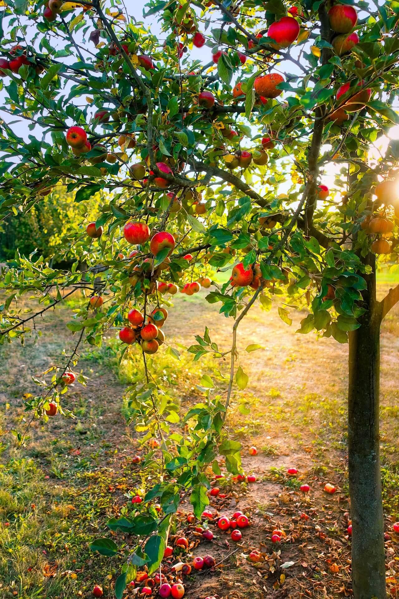 Пръскане на овощни дръвчета