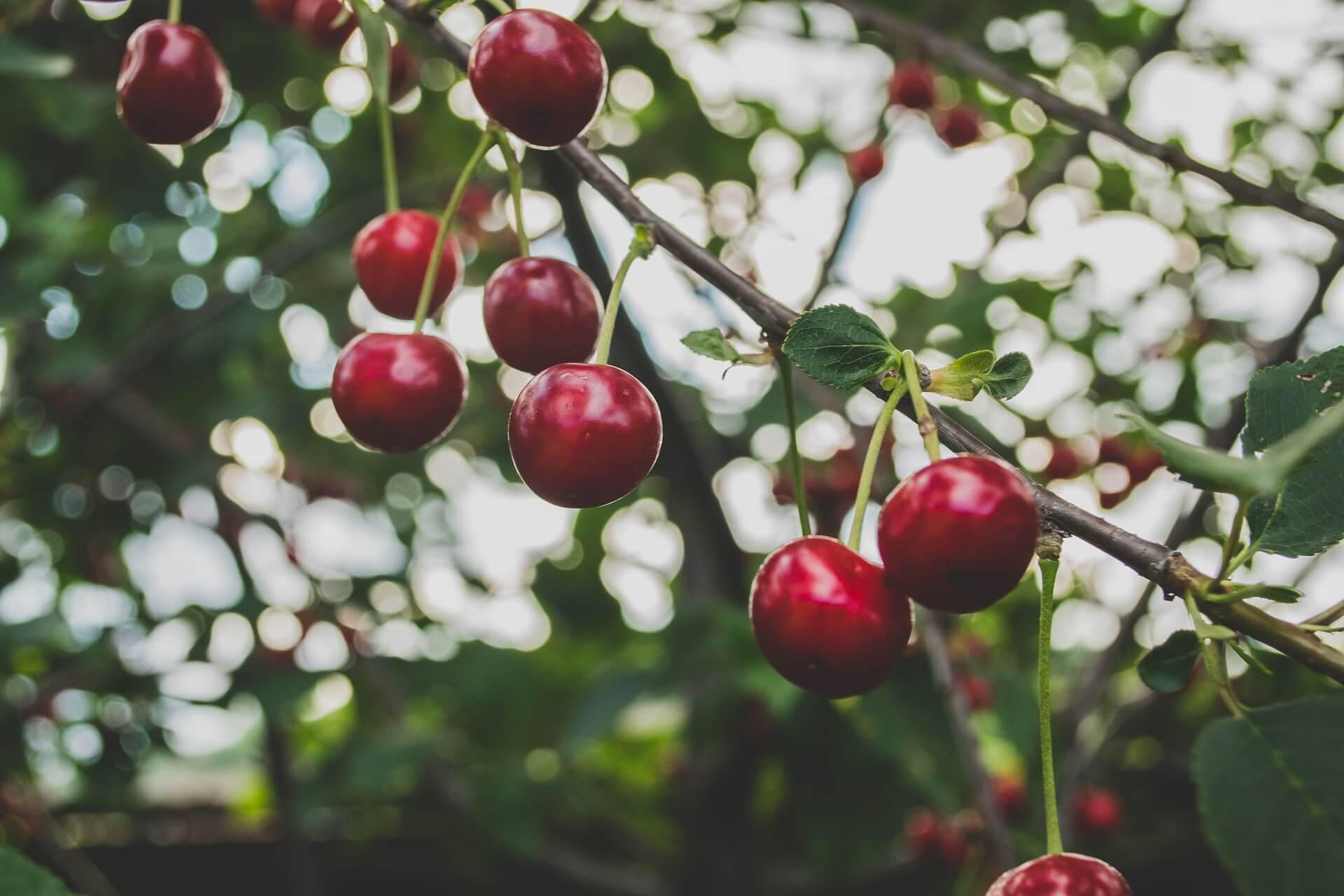 Пръскане на черешова градина - Пръскане на овощни дръвчета - Rezach.bg